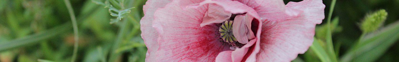 cropped-rosa-mohn1.jpg